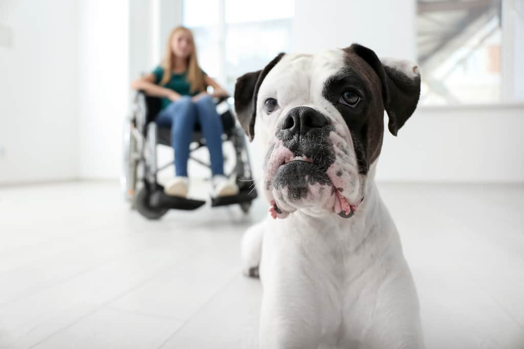 A white Boxer service dog sits by his owner in a wheelchair