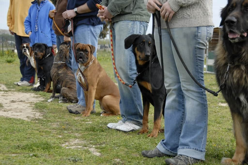 Boxer dog in dog obedience class