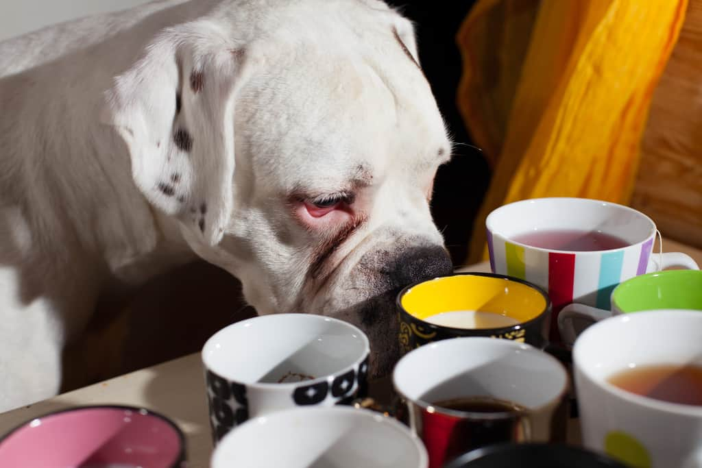 Boxer dog sniffs cup of milk